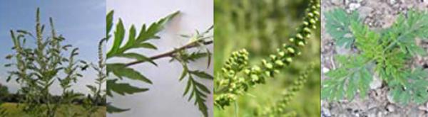 Ambrosiapflanze