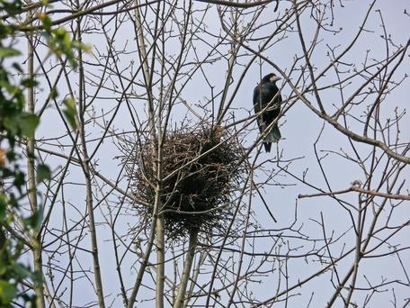 Saatkrähe am Nest