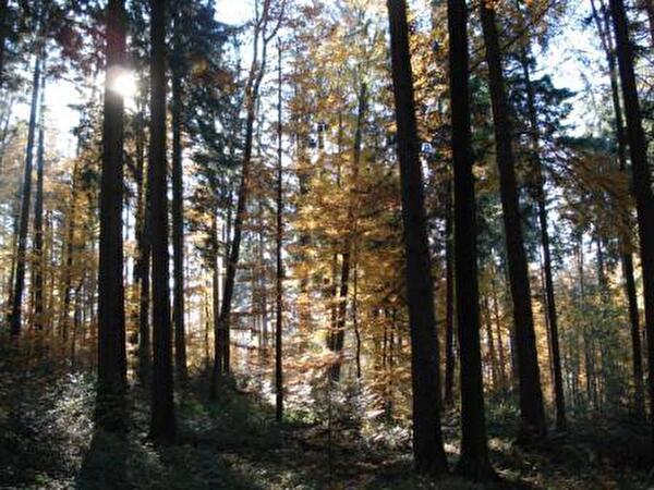 Morgenimpressionen des Waldes für Naturbestattungen im Horgenberg
