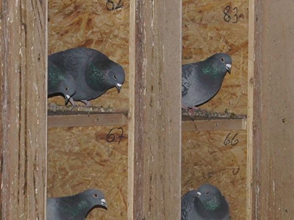 Tauben im Taubenschlag