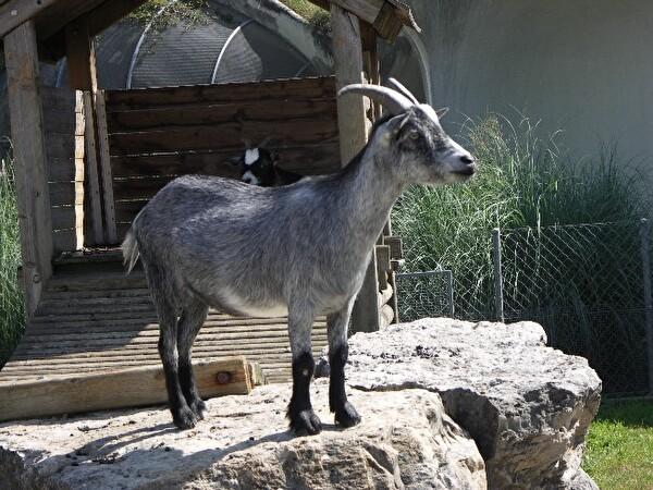 Tierpark Chrüzacher Ziege