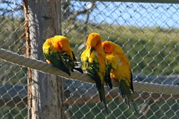 Drei Sonnensittiche, Vogelpark Ambigua