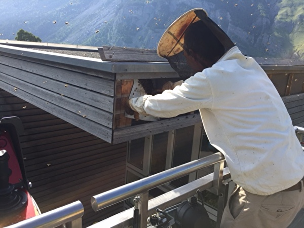 Der Imker beim Entfernen des Bienenschwarmes.