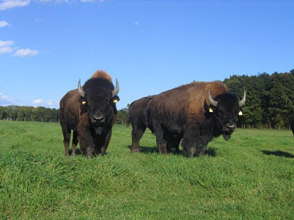 Deux bisons dubitatifs