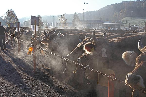 Viehschau auf dem Viehprämierungsplatz