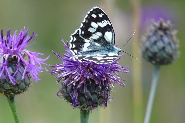 Bild Schmetterling auf Blume