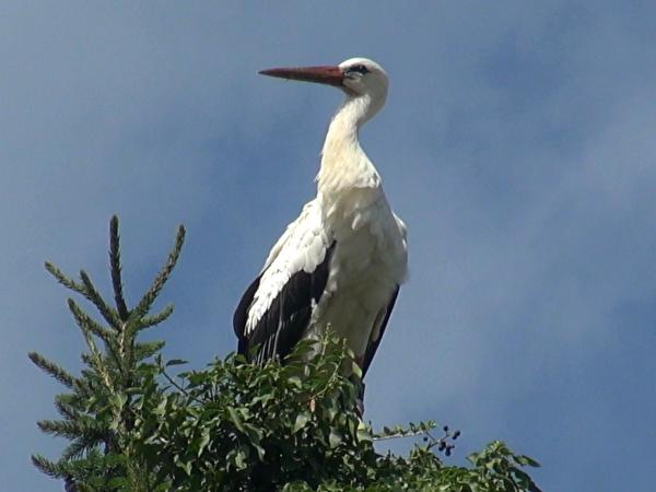 Storch auf Baumwipfel
