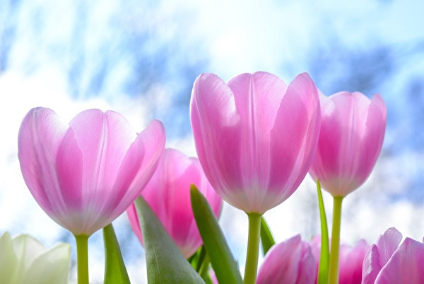 1 Tulpe fürs Leben heisst die Aktion von L'aiMant Rose, an der sich auch die Gemeinde Emmen während dem Rosa Oktober beteiligt. (Bild: zvg)
