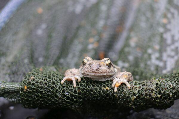 Die Geburtshelferkröte kann Dank der Amphibienleiter aus einem Schacht klettern.