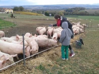 Les cochons de pâturage de la ferme en Croix à Vuillerens (31 octobre 2018)