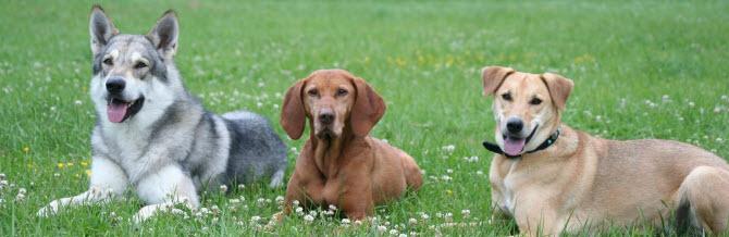 drei Hunde auf der Wiese sitzend