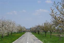Kirschbäume Allmend