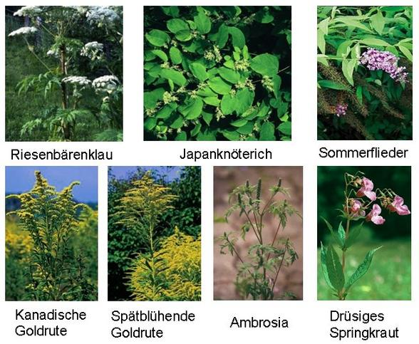 Fotos von Problempflanzen