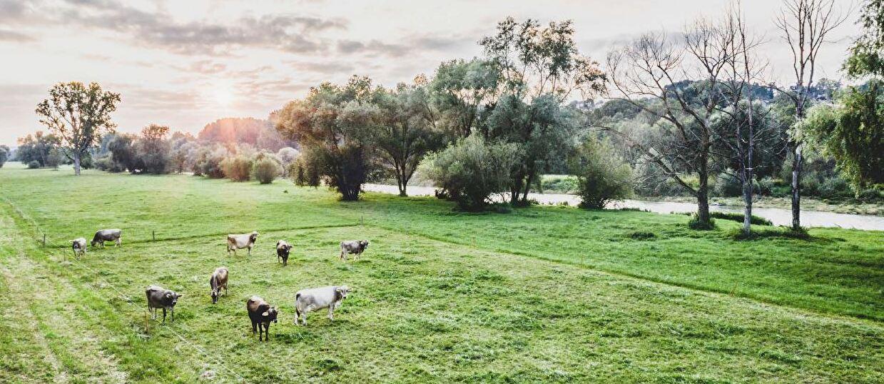 Kühe an der Thur